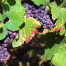 El uso de Collector for ArcGIS para tomar mejores decisiones en el mundo del vino